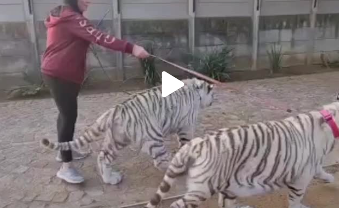 Update on the 'Tiger Kings' of South Africa - TikTok footage surfaces