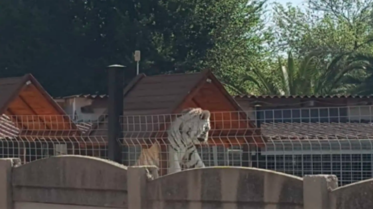A tiger is being kept as a pet in a home - right behind a nursery school