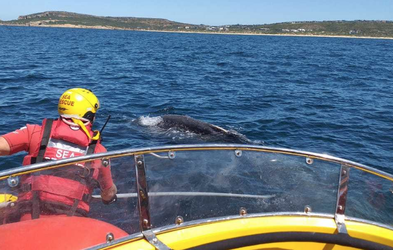 Young Humpback whale rescued from entanglement in Plett!